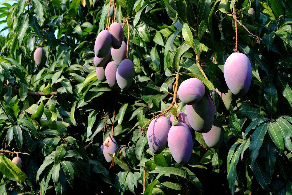 Árbol de Mangos