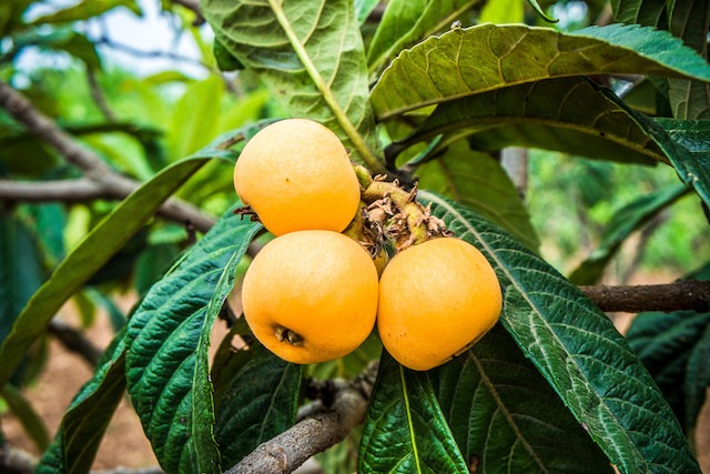 Fresh raw loquats on the brabch in the countryside